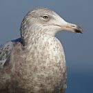 Glaucous Gull  by Robert Abraham