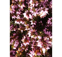 Lucky Pink Heather by Amber Feng Shui Art Photographic Print