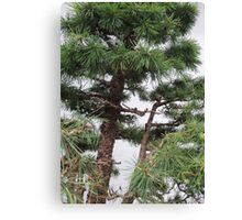 Bonsai Close Up Canvas Print
