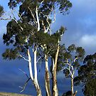 High Country Eucalypts - Bombala, New South Wales by Bev Pascoe