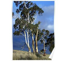 High Country Eucalypts - Bombala, New South Wales Poster