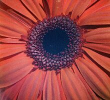 Red Gerbera - UK457/07 - www.lizgarnett.com by Liz Garnett