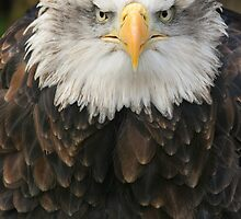 Bald Eagle Stare by Captivelight
