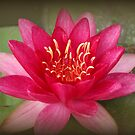 Water Lily  by karina5