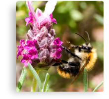 Bumble bee on a Lavender bush Canvas Print