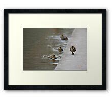 Duckling strut Framed Print