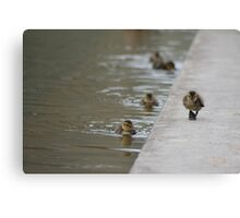 Duckling strut Canvas Print