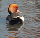 Red-crested Pochard by Yampimon