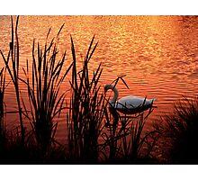 """The Swan"" Photographic Print"
