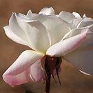 "Rose Album ""White Beauty"" by loiteke"