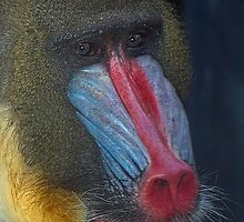 Mandrill by Marvin Collins
