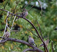 Mourning Doves by Laurie Puglia