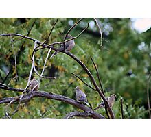 Mourning Doves Photographic Print
