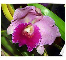 The Orchid - Blc Karbella Beauty x Lc. China Sunset x Pot mem Setchi Wasaki  x Blc Sylvia 'Fry Hamegs' Poster