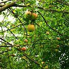 Apples by Trevor Kersley