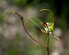 King Spider Orchid - Mt Barker Summit by LeeoPhotography