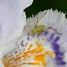 Cute little bug on an iris by Michael Matthews