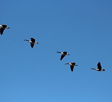 Canada Geese in Flight by hummingbirds