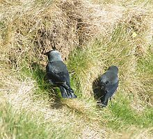 Jackdaws In The Grass by Richard Durrant