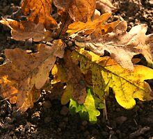 oak leaves by Cornelia Togea