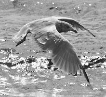 Sea Gull by HALIFAXPHOTO