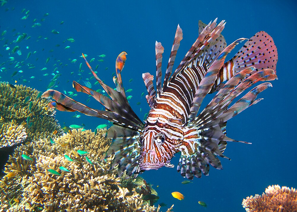 RED LIONFISH by Michael Sheridan