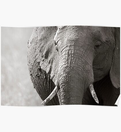 Portrait of an elephant - 3 Poster