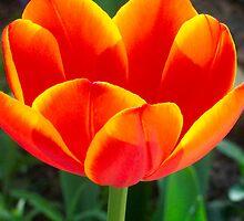Home-grown Tulip by Terri~Lynn Bealle