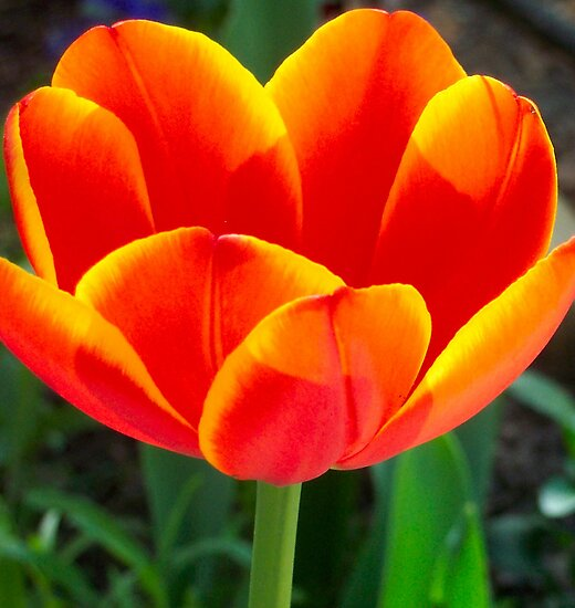 Home-grown Tulip by Terri~Lynn Bealle