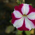 Patriotic Petunia by RosaMarieAshby