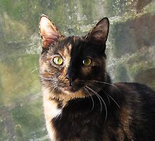 Tortoiseshell cat looking at camera by ljm000