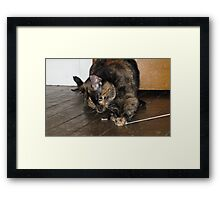 Tortoiseshell cat playing with string Framed Print