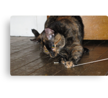 Tortoiseshell cat playing with string Canvas Print