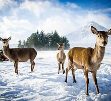 Deer family in Winter by PHendersonPhoto