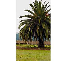 Palm Tree living in the vineyard Photographic Print