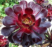 Black Beauty - Aeonium Schwarzkopf Blossoms with Raindrops   by MidnightMelody