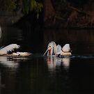 pelican by mickeyb