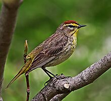 Palm Warbler by John Absher