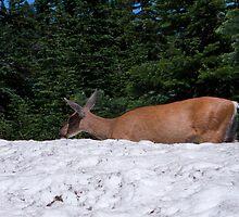 Deer at Mt. Rainier by EvaMcDermott