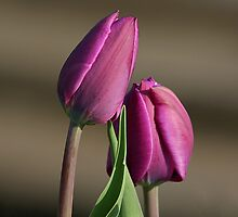Purple Tulips by John Absher