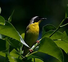 Male Common Yellow Throat Warbler 1 by John Absher