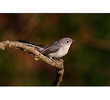 Blue Gray Gnat Catcher Photographic Print