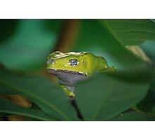 Waxy Tree Frog Photographic Print