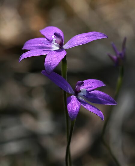 Wax Lip Orchid - Mt Barker Summit by LeeoPhotography