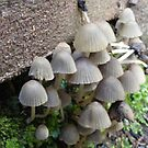 fungi on the steps at Leven Canyon, Tasmania by gaylene