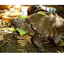 Tortoise take-out Photographic Print
