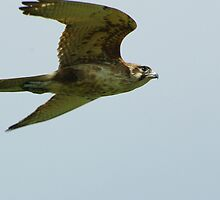 Brown Falcon from the Silver Falcon 4 by Biggzie