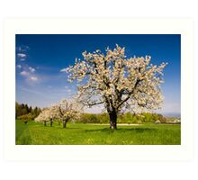 Blossoming trees in spring in rural scenery  Art Print