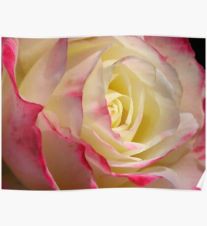 Heart Of  a Rose, pink, yellow, and white Poster