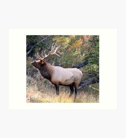 Old Elk Art Print